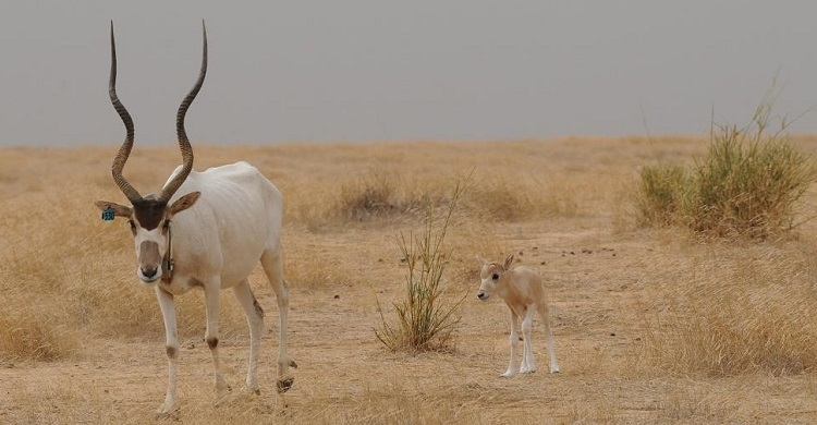 Addax Mother and Calf